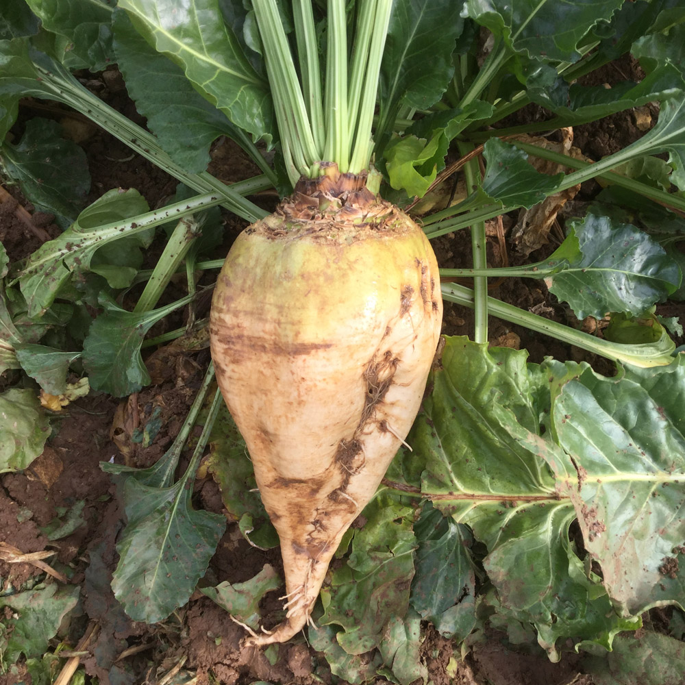 """Featured image for """"Blizzard Fodder Beet"""""""