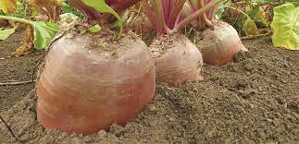 """Featured image for """"Monro Fodder Beet"""""""