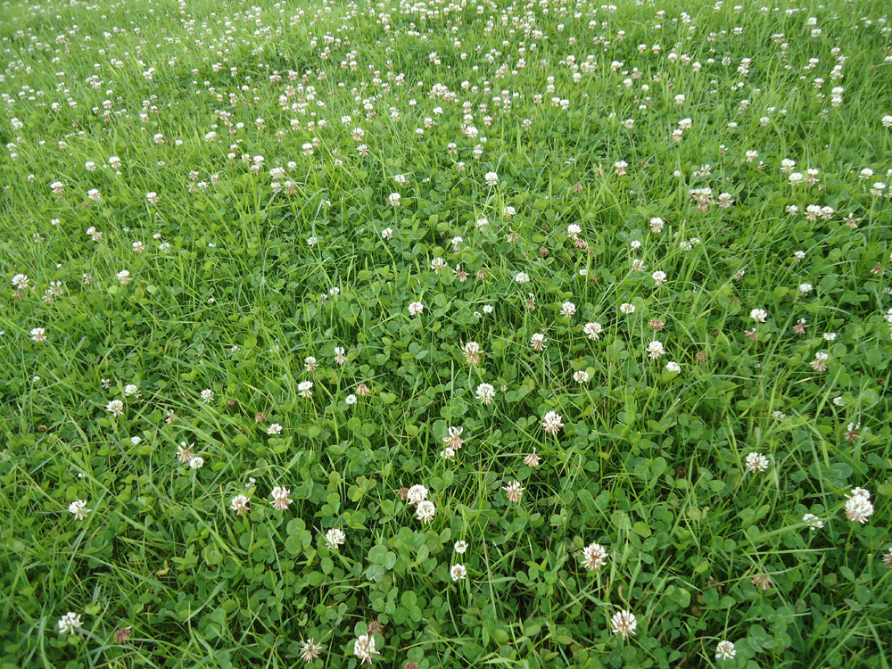 """Featured image for """"White Clover Blend"""""""