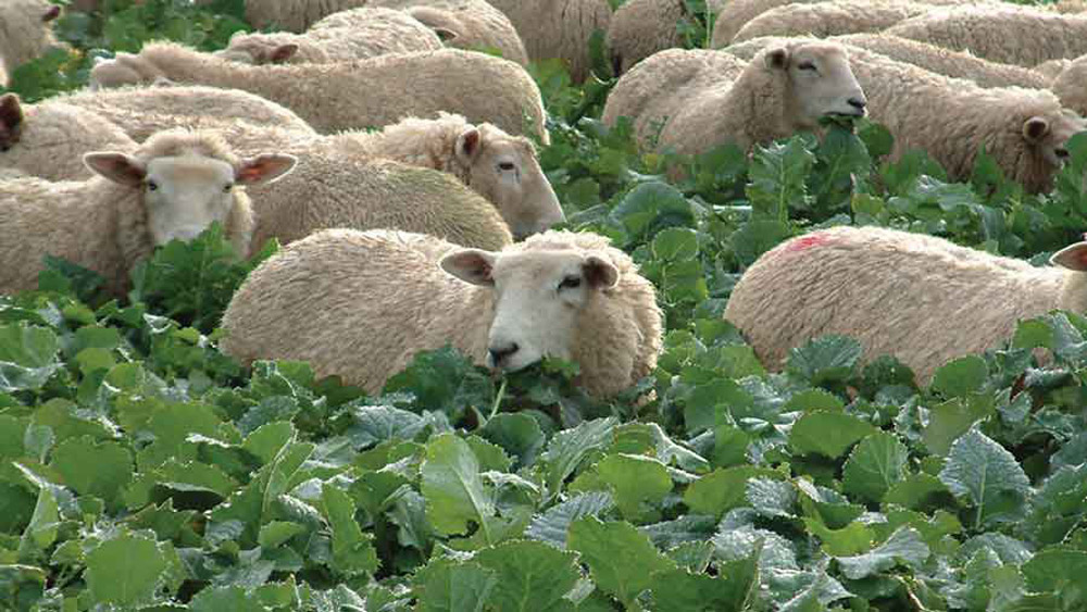 """Featured image for """"Sheep Feed Mix"""""""