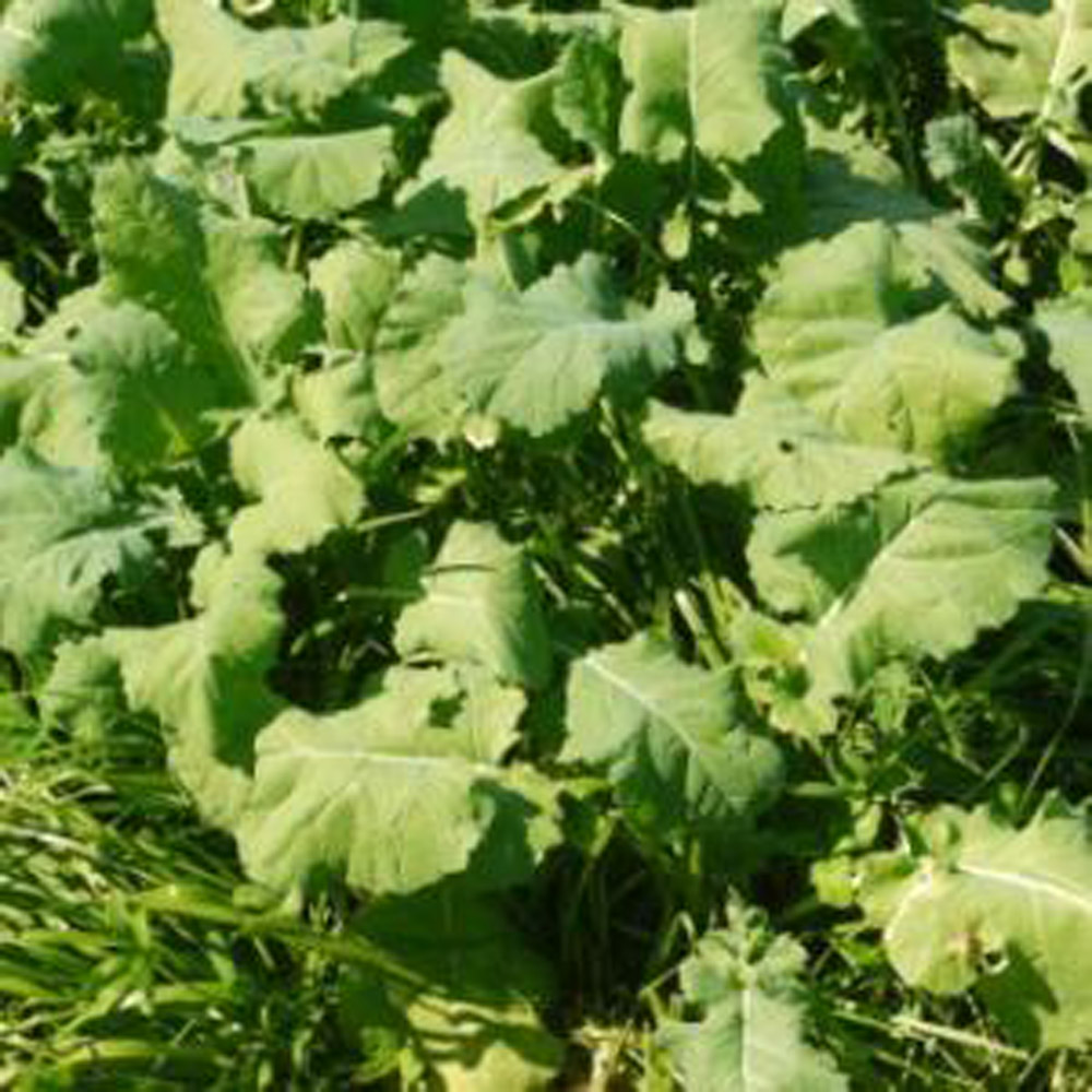 """Featured image for """"Forage Rape & Italian Ryegrass Mixture"""""""
