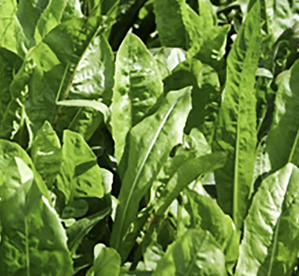 """Featured image for """"Lamb Finisher – Forage Chicory Mixture 3-4 Years"""""""