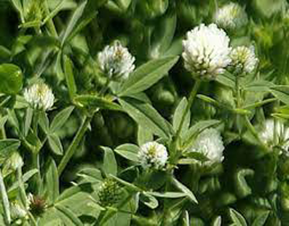 """Featured image for """"Clover–Berseem"""""""