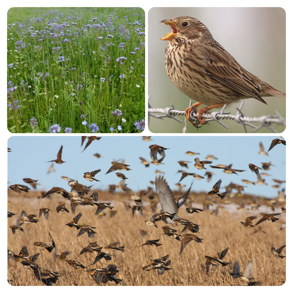 """Featured image for """"R.S.P.B Corn Bunting Mix"""""""